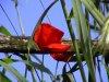 pps fiori, testi canzoni, poesie amore, fiori, tulipani, margherite, rose, pps colori