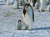 pinguini, antartide, marcia, freddo, eleganza, antartide