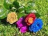 fiori, colori, arte, digitale, fiori, rose, colori, art